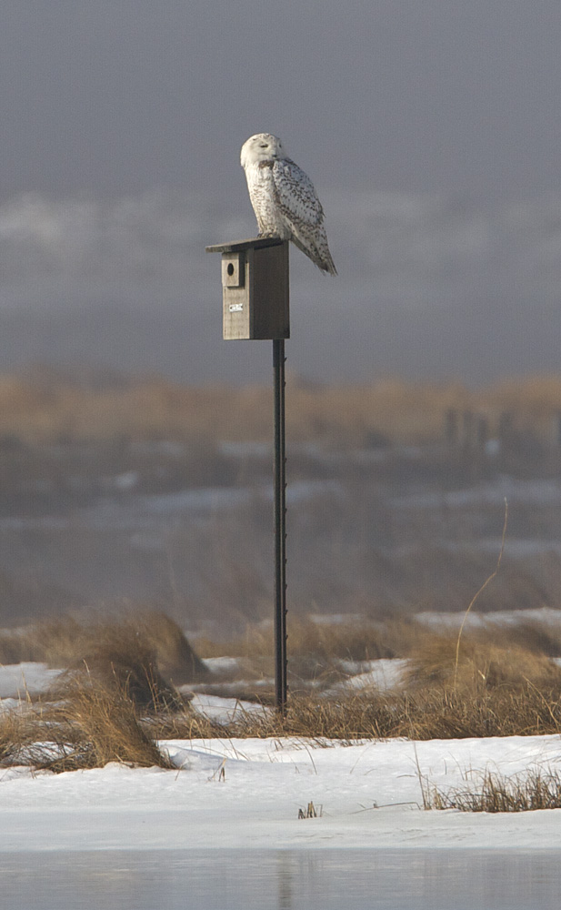 Snowy Owl perches on some poor birds house.