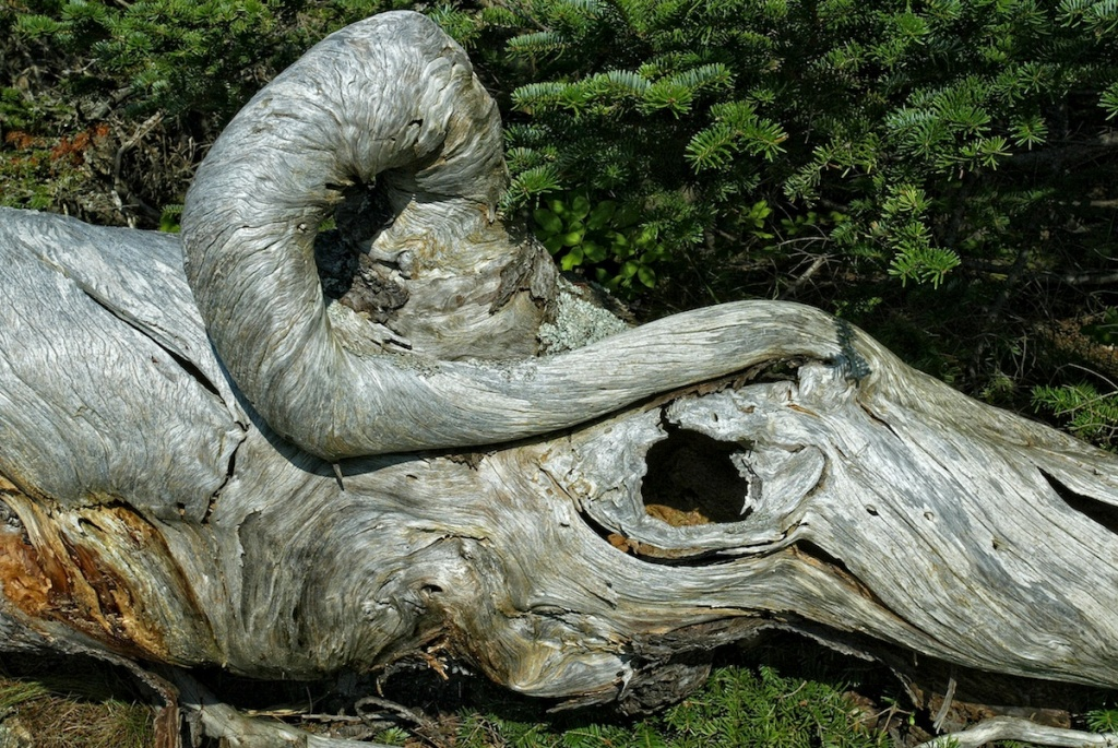 Sometimes driftwood can take interesting forms.  Acadia National Park, Maine.