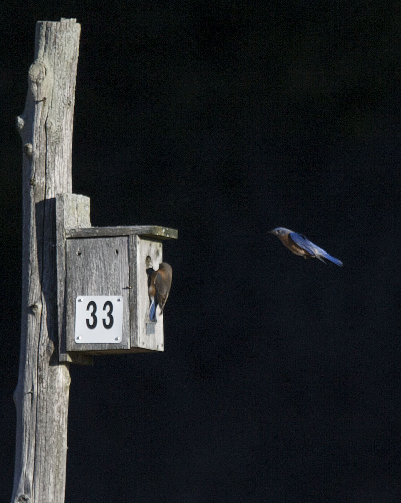 "A ""freeze frame"" kind of photo that catches the Bluebird in the act of landing."