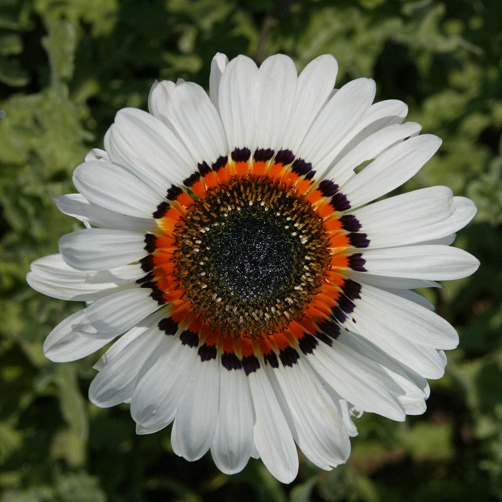 Flower in a public garden in Camden, Maine