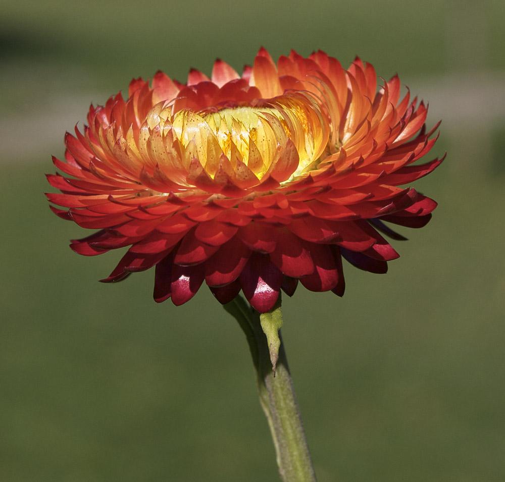 Red flower.  Camden Maine.
