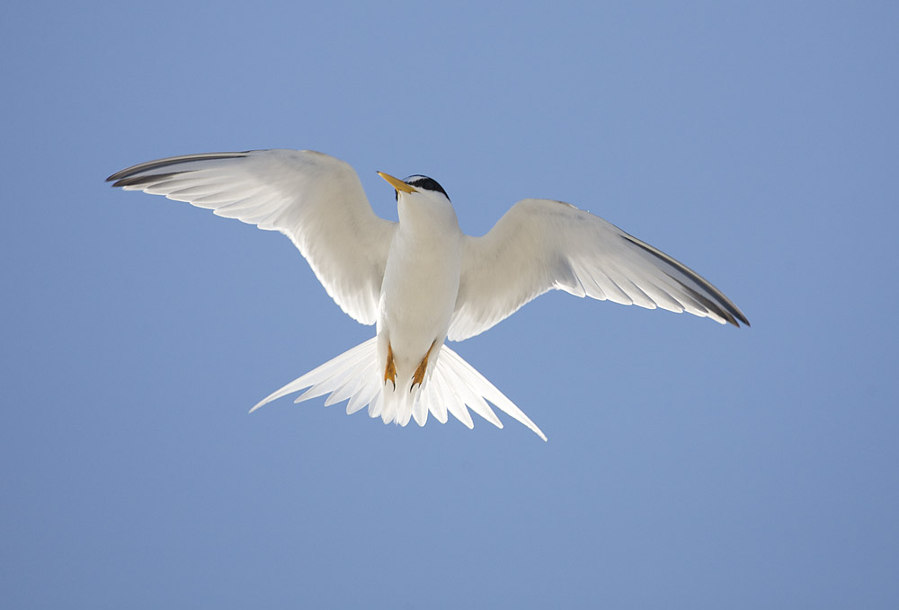 Attack of the Tern.