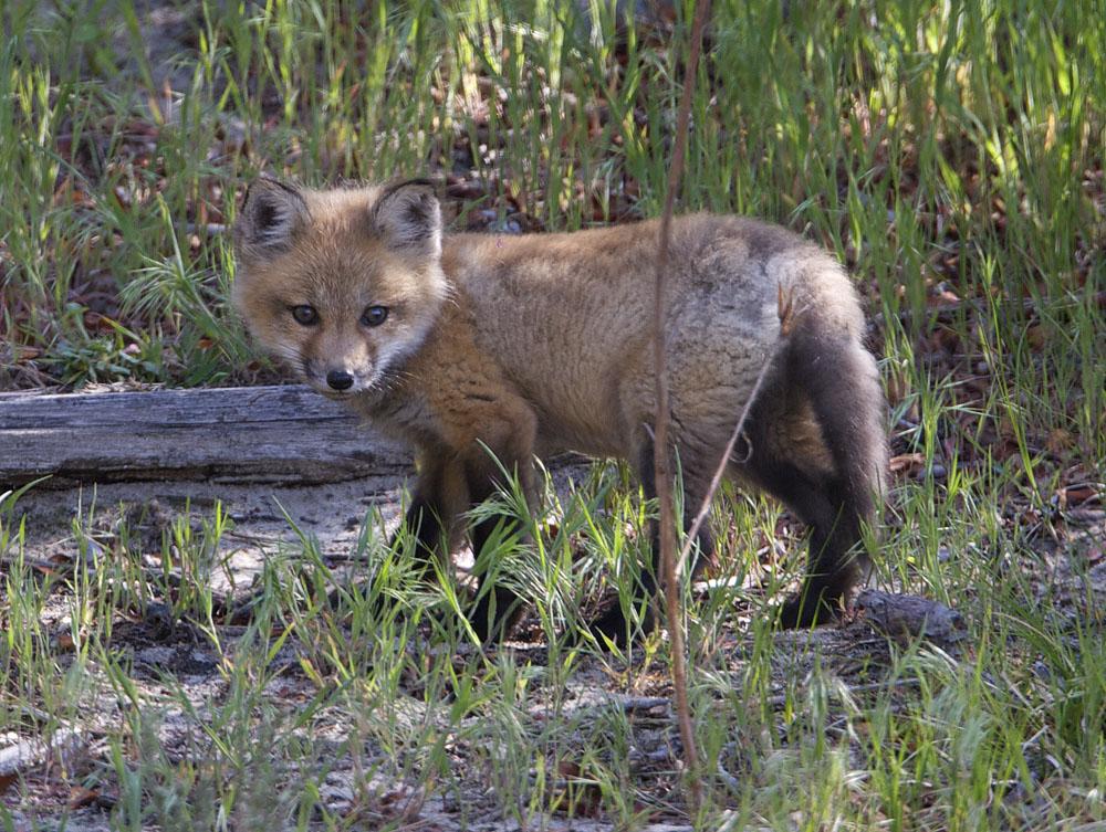 Fox cub at Plum Island Ma