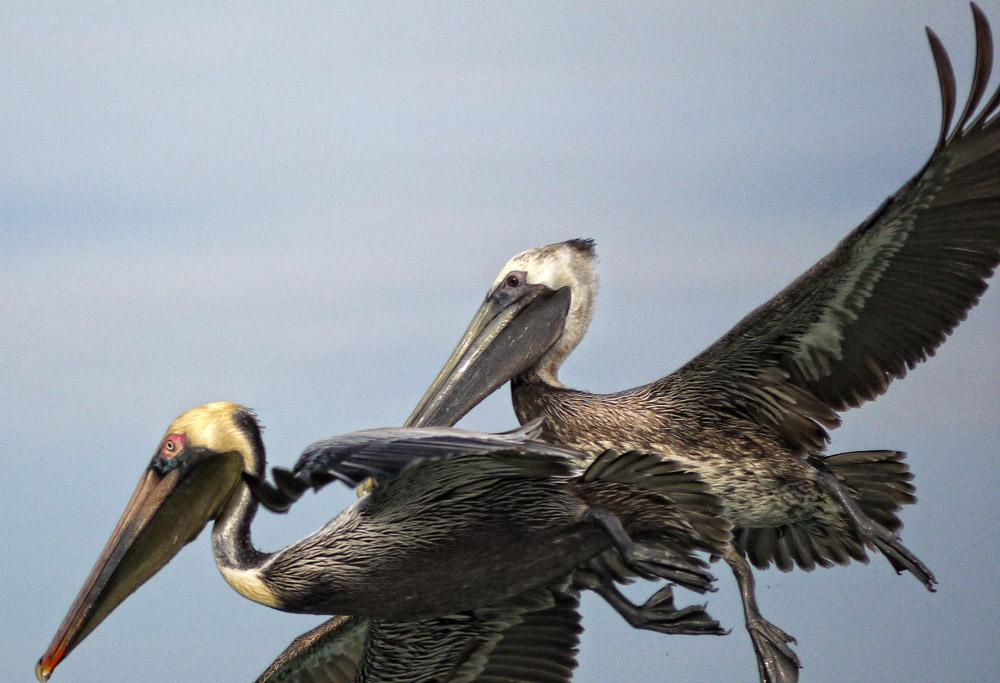 Pelicans off Lido Key, Sarasota
