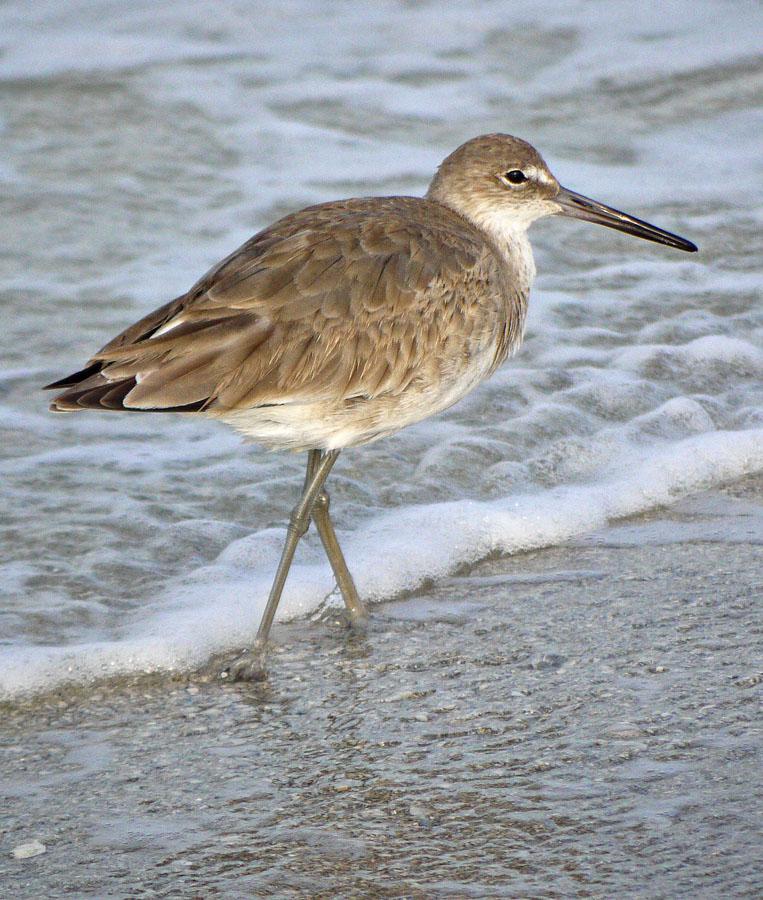 Brown Stilt Legged Beach Bird