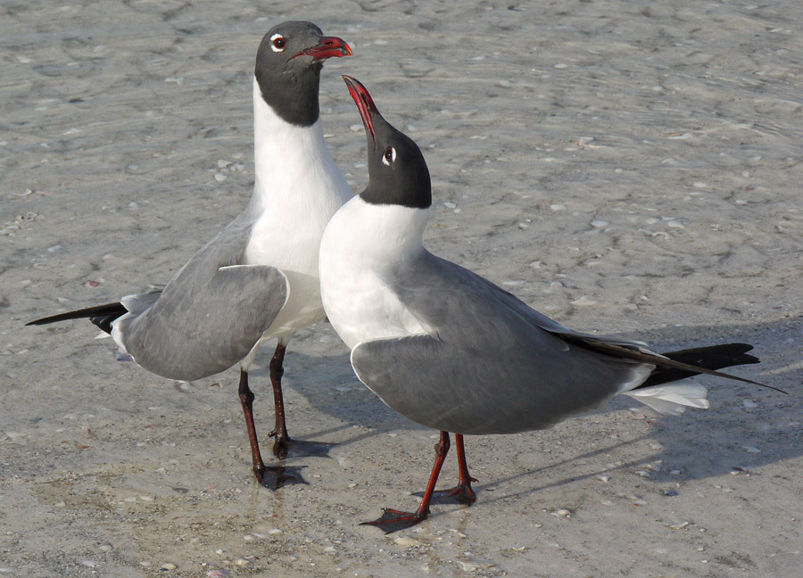 Laughing Gulls sharing a serious moment